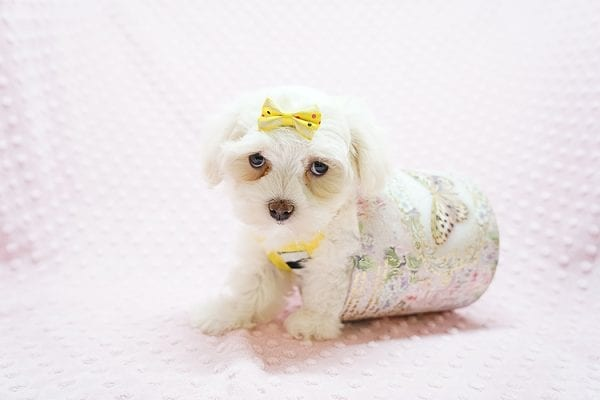 Mikimoto - Toy Maltese Puppy Found Her Good Loving Home With Elroy R. In Los Angeles CA, 90044-0