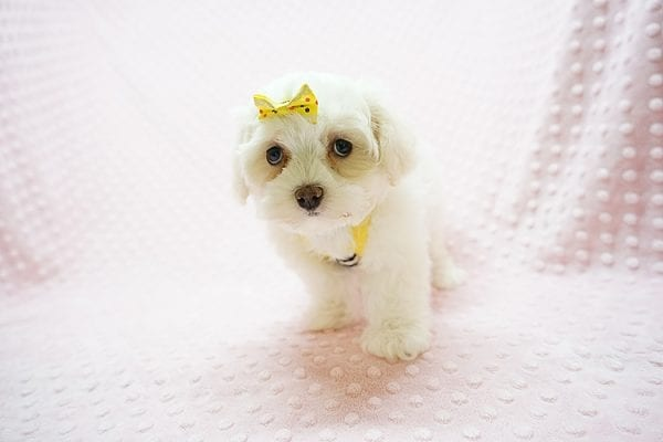 Mikimoto - Toy Maltese Puppy Found Her Good Loving Home With Elroy R. In Los Angeles CA, 90044-21691