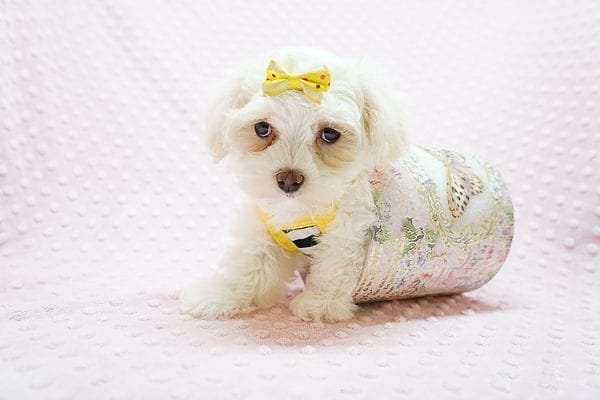 Mikimoto - Toy Maltese Puppy Found Her Good Loving Home With Elroy R. In Los Angeles CA, 90044-21707