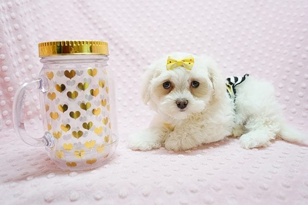 Mikimoto - Toy Maltese Puppy Found Her Good Loving Home With Elroy R. In Los Angeles CA, 90044-21709