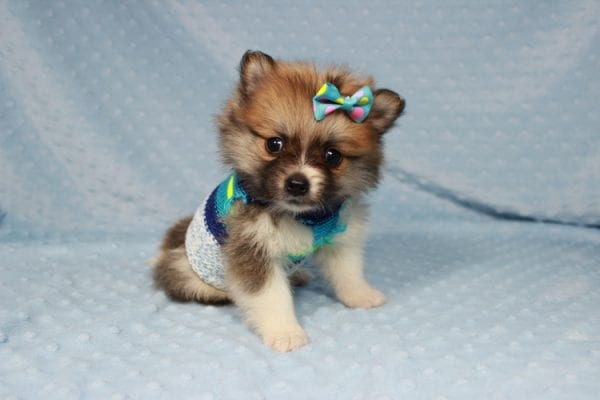 Pretty Boy - Tiny Teacup Pomeranian Puppy has found a good loving home with Alfredo from Henderson, NV 89012-21874