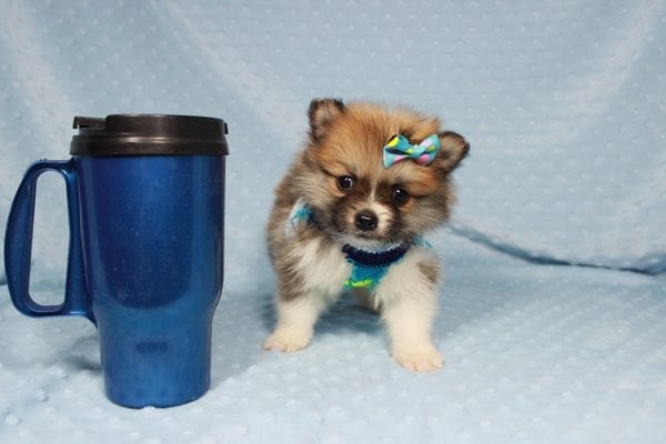 Pretty Boy - Tiny Teacup Pomeranian Puppy has found a good loving home with Alfredo from Henderson, NV 89012-21873