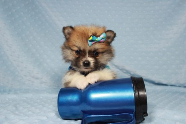 Pretty Boy - Tiny Teacup Pomeranian Puppy has found a good loving home with Alfredo from Henderson, NV 89012-21875