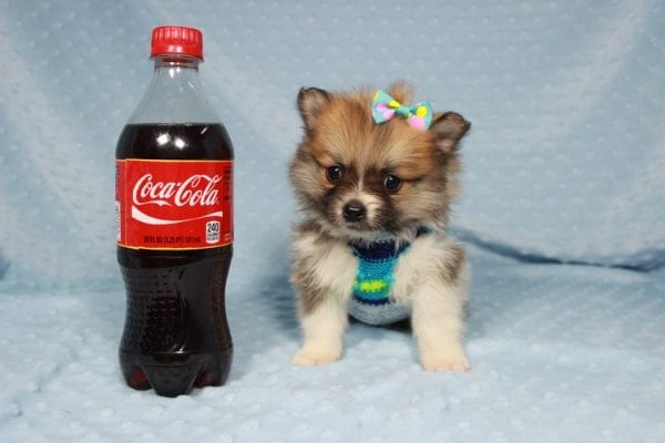 Pretty Boy - Tiny Teacup Pomeranian Puppy has found a good loving home with Alfredo from Henderson, NV 89012-21876