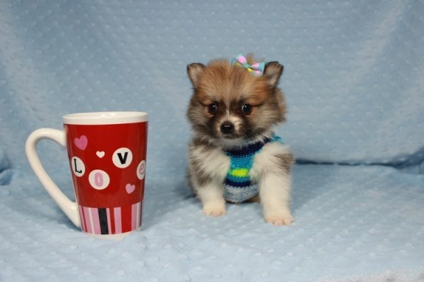 Pretty Boy - Tiny Teacup Pomeranian Puppy has found a good loving home with Alfredo from Henderson, NV 89012-0