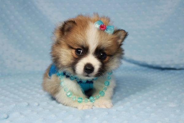 Pooh Bear - Teacup Pomeranian Puppy in Las Vegas has found a good loving home with Deborah from Las Vegas, NV 89169-21861