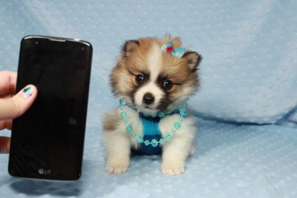 Pooh Bear - Teacup Pomeranian Puppy in Las Vegas has found a good loving home with Deborah from Las Vegas, NV 89169-0