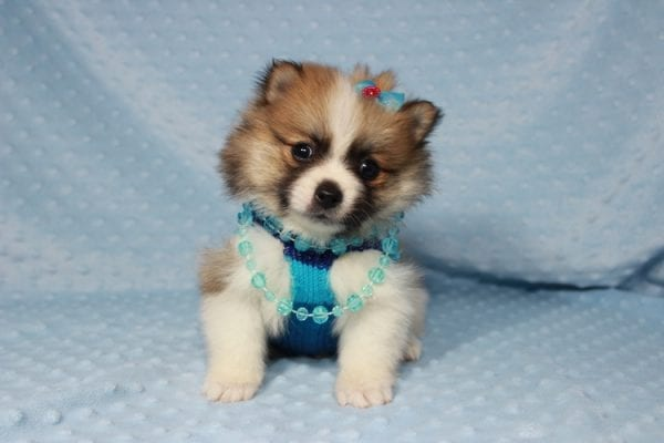 Pooh Bear - Teacup Pomeranian Puppy in Las Vegas has found a good loving home with Deborah from Las Vegas, NV 89169-21863