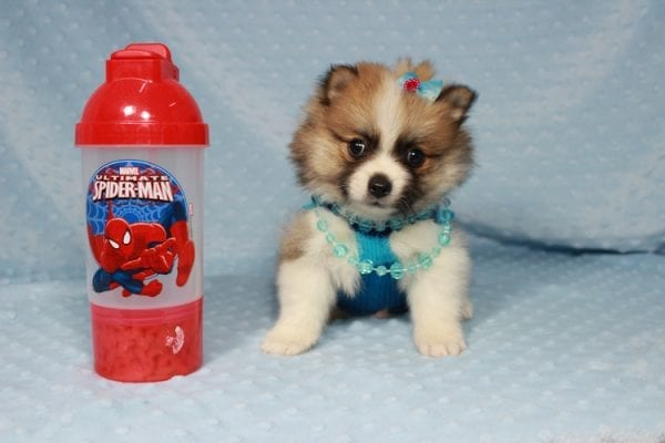 Pooh Bear - Teacup Pomeranian Puppy in Las Vegas has found a good loving home with Deborah from Las Vegas, NV 89169-21864