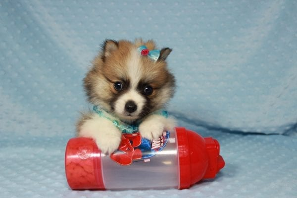 Pooh Bear - Teacup Pomeranian Puppy in Las Vegas has found a good loving home with Deborah from Las Vegas, NV 89169-21865