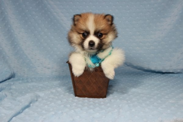 Pooh Bear - Teacup Pomeranian Puppy in Las Vegas has found a good loving home with Deborah from Las Vegas, NV 89169-21866