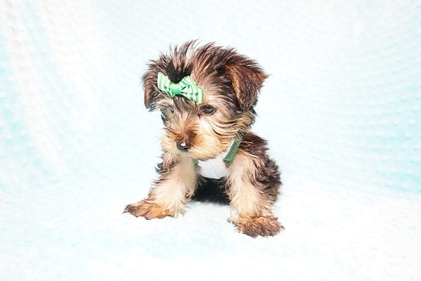 Ralph Lauren - Teacup Yorkie Puppy in Found A Loving Home with Shannon Duong and Oscar Reyes in El Monte-21565