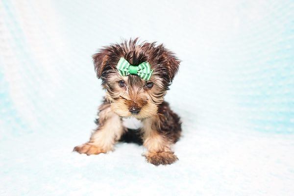 Ralph Lauren - Teacup Yorkie Puppy in Found A Loving Home with Shannon Duong and Oscar Reyes in El Monte-21564