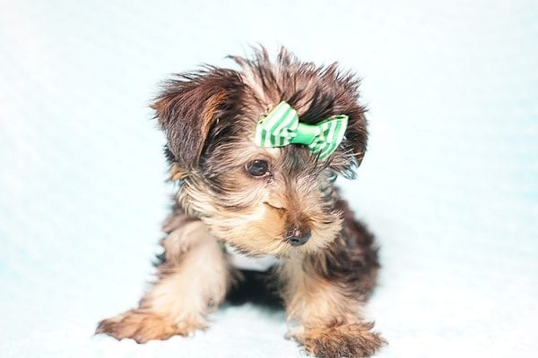 Ralph Lauren - Teacup Yorkie Puppy in Found A Loving Home with Shannon Duong and Oscar Reyes in El Monte-21571