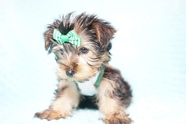 Ralph Lauren - Teacup Yorkie Puppy in Found A Loving Home with Shannon Duong and Oscar Reyes in El Monte-21566