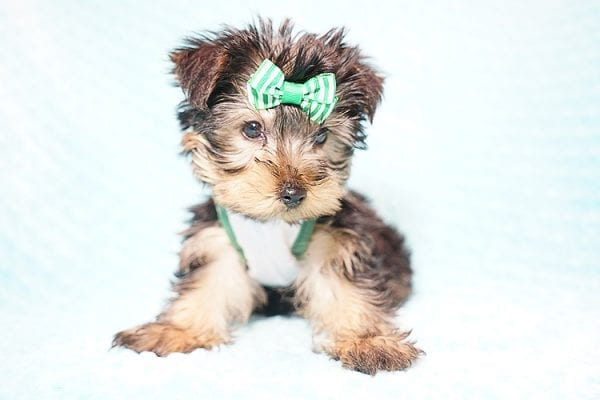 Ralph Lauren - Teacup Yorkie Puppy in Found A Loving Home with Shannon Duong and Oscar Reyes in El Monte-21567