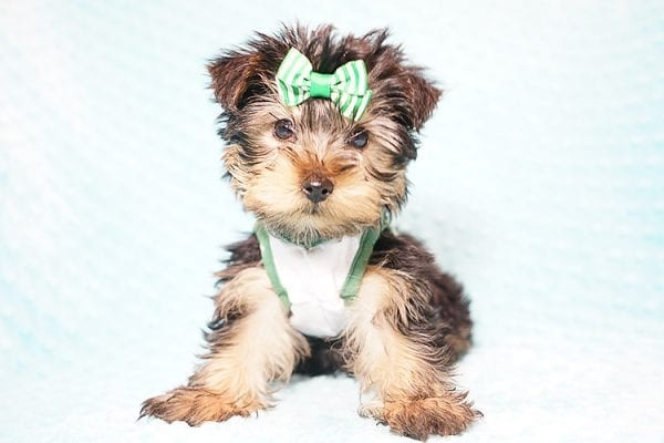 Ralph Lauren - Teacup Yorkie Puppy in Found A Loving Home with Shannon Duong and Oscar Reyes in El Monte-0