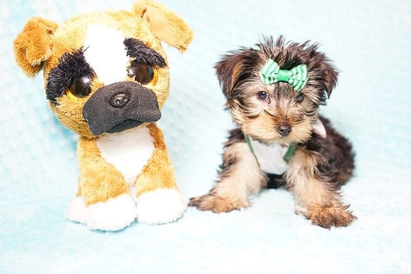 Ralph Lauren - Teacup Yorkie Puppy in Found A Loving Home with Shannon Duong and Oscar Reyes in El Monte-21569