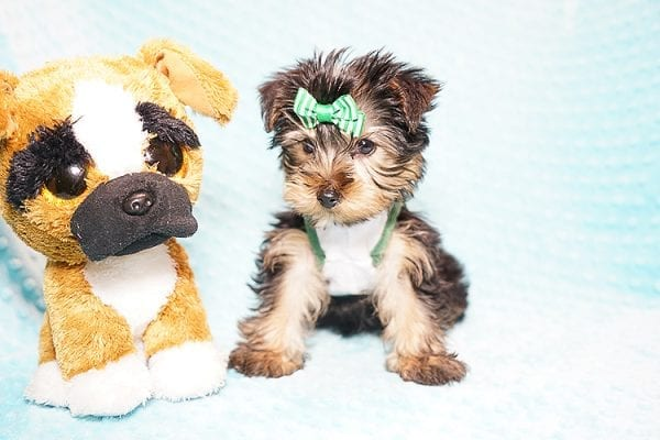 Ralph Lauren - Teacup Yorkie Puppy in Found A Loving Home with Shannon Duong and Oscar Reyes in El Monte-21572