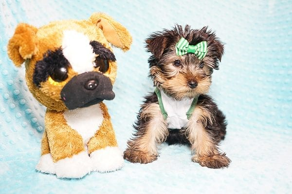 Ralph Lauren - Teacup Yorkie Puppy in Found A Loving Home with Shannon Duong and Oscar Reyes in El Monte-21573