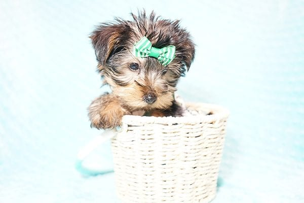 Ralph Lauren - Teacup Yorkie Puppy in Found A Loving Home with Shannon Duong and Oscar Reyes in El Monte-21574