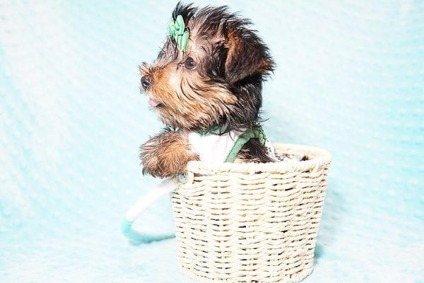 Ralph Lauren - Teacup Yorkie Puppy in Found A Loving Home with Shannon Duong and Oscar Reyes in El Monte-21575