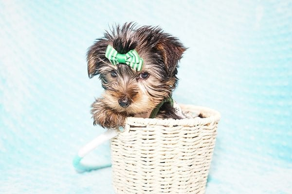 Ralph Lauren - Teacup Yorkie Puppy in Found A Loving Home with Shannon Duong and Oscar Reyes in El Monte-21576