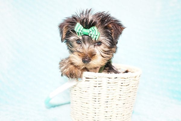 Ralph Lauren - Teacup Yorkie Puppy in Found A Loving Home with Shannon Duong and Oscar Reyes in El Monte-21577
