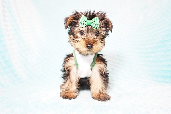 Ralph Lauren - Teacup Yorkie Puppy in Found A Loving Home with Shannon Duong and Oscar Reyes in El Monte-21561