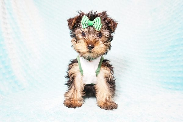 Ralph Lauren - Teacup Yorkie Puppy in Found A Loving Home with Shannon Duong and Oscar Reyes in El Monte-21560