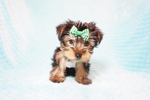 Ralph Lauren - Teacup Yorkie Puppy in Found A Loving Home with Shannon Duong and Oscar Reyes in El Monte-21563