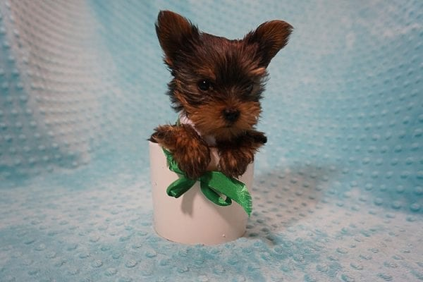 Rocky Road - Teacup Yorkie Puppy Found His Good Loving Home With Kevin P. In Los Angeles CA, 90025-21762