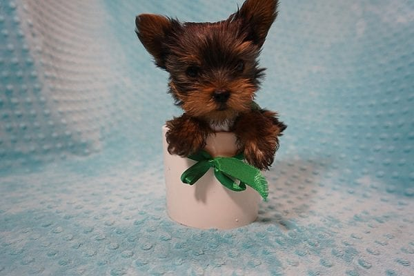 Rocky Road - Teacup Yorkie Puppy Found His Good Loving Home With Kevin P. In Los Angeles CA, 90025-0