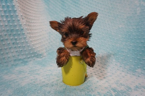 Rocky Road - Teacup Yorkie Puppy Found His Good Loving Home With Kevin P. In Los Angeles CA, 90025-21754