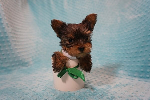 Rocky Road - Teacup Yorkie Puppy Found His Good Loving Home With Kevin P. In Los Angeles CA, 90025-21755