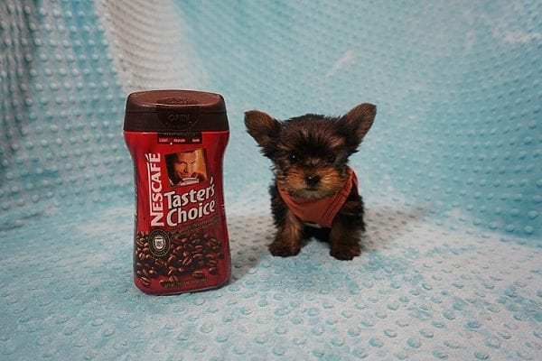 Rocky Road - Teacup Yorkie Puppy Found His Good Loving Home With Kevin P. In Los Angeles CA, 90025-21757