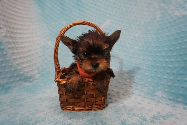 Rocky Road - Teacup Yorkie Puppy Found His Good Loving Home With Kevin P. In Los Angeles CA, 90025-21756
