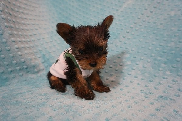 Rocky Road - Teacup Yorkie Puppy Found His Good Loving Home With Kevin P. In Los Angeles CA, 90025-21758