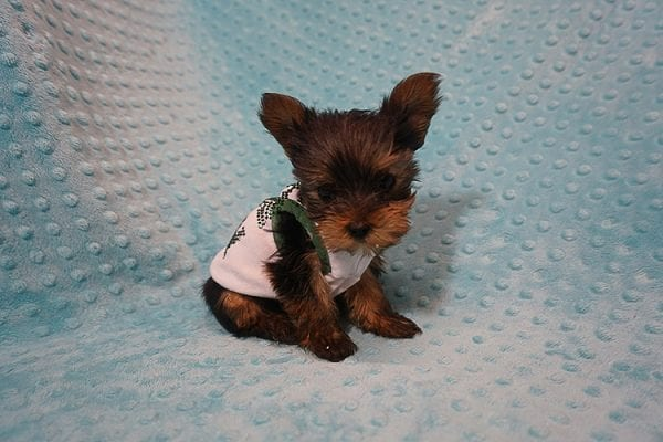 Rocky Road - Teacup Yorkie Puppy Found His Good Loving Home With Kevin P. In Los Angeles CA, 90025-21760