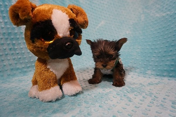 Rocky Road - Teacup Yorkie Puppy Found His Good Loving Home With Kevin P. In Los Angeles CA, 90025-21761