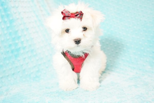 I Puppy X - Teacup Maltese Puppy Found Her Good Loving Home With Venkatesh K. In Artesia CA, 90701-0