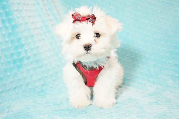 I Puppy X - Teacup Maltese Puppy Found Her Good Loving Home With Venkatesh K. In Artesia CA, 90701-21635