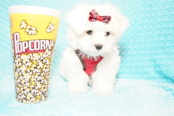 I Puppy X - Teacup Maltese Puppy Found Her Good Loving Home With Venkatesh K. In Artesia CA, 90701-21639