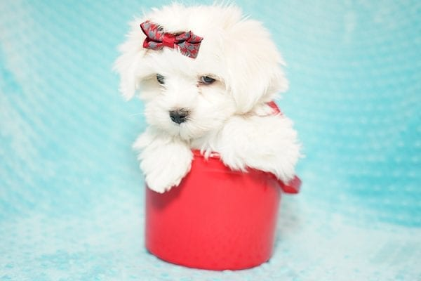 I Puppy X - Teacup Maltese Puppy Found Her Good Loving Home With Venkatesh K. In Artesia CA, 90701-21640