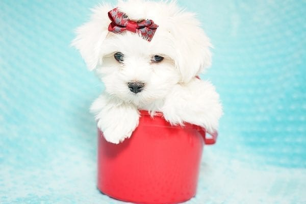 I Puppy X - Teacup Maltese Puppy Found Her Good Loving Home With Venkatesh K. In Artesia CA, 90701-21654