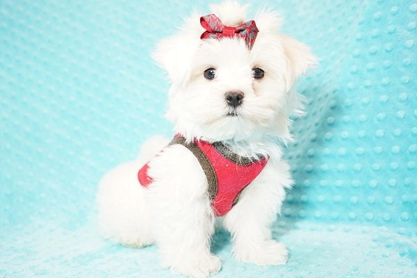 I Puppy X - Teacup Maltese Puppy Found Her Good Loving Home With Venkatesh K. In Artesia CA, 90701-21631