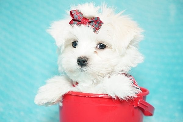 I Puppy X - Teacup Maltese Puppy Found Her Good Loving Home With Venkatesh K. In Artesia CA, 90701-21638