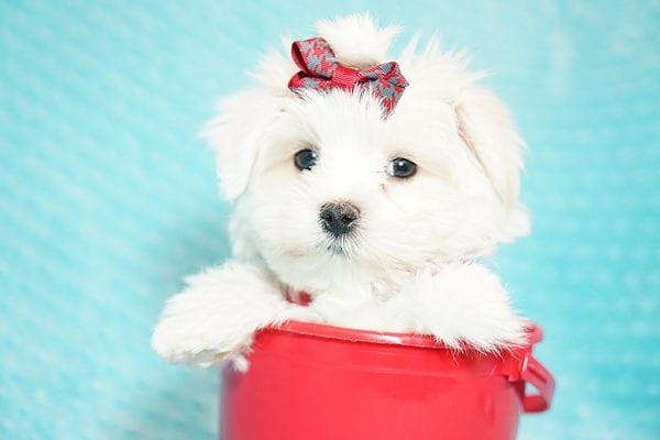 I Puppy X - Teacup Maltese Puppy Found Her Good Loving Home With Venkatesh K. In Artesia CA, 90701-21642