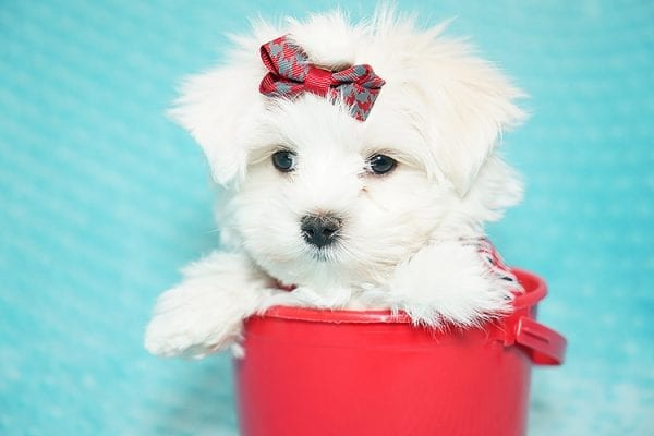I Puppy X - Teacup Maltese Puppy Found Her Good Loving Home With Venkatesh K. In Artesia CA, 90701-21641