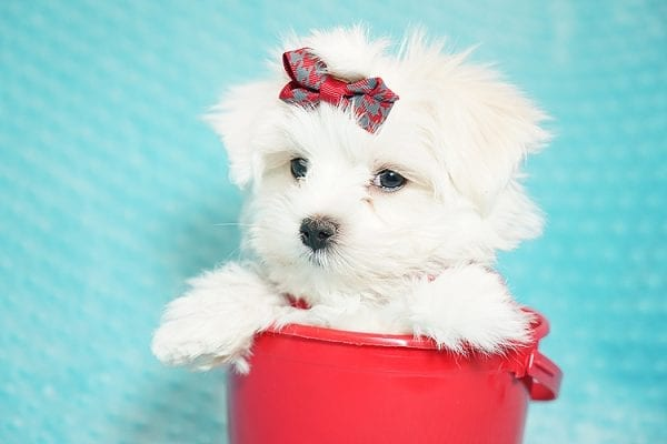 I Puppy X - Teacup Maltese Puppy Found Her Good Loving Home With Venkatesh K. In Artesia CA, 90701-21643